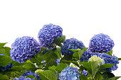 blue hydrangea flowers isolated on white background
