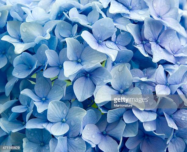 Blue Hydrangea macrophylla  with Raindrops