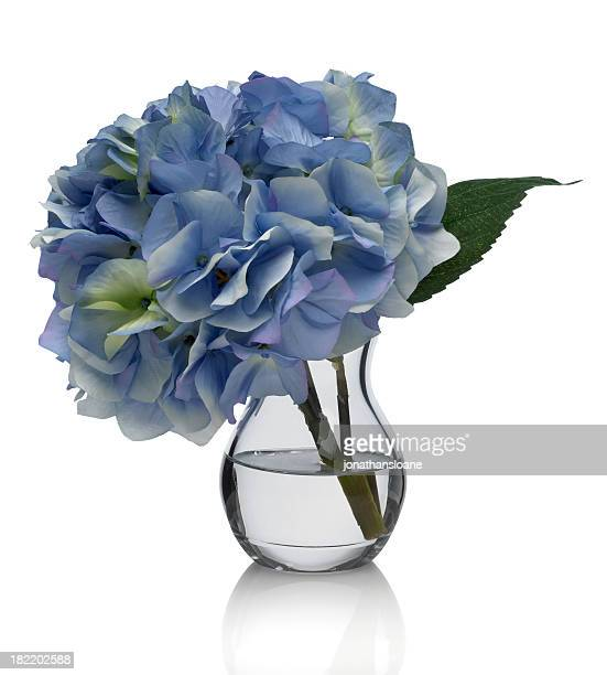 Blue Hydrangea on white background