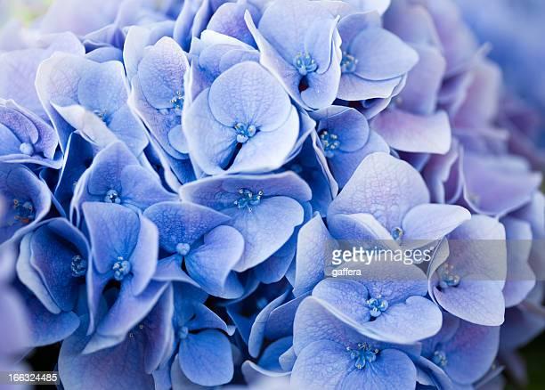 blue Hortensie