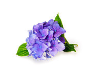 Blue Hydrangea.Blue Hydrangea flowers isolated over white background.