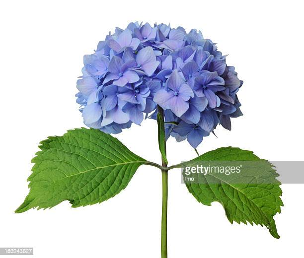 Blue hydrangea with green stem on white background