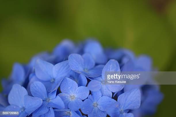 Blue hydrangea with raindrops