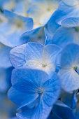 Blue Hydrangea,Japan