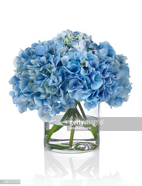Blue Hydrangeas on a white background