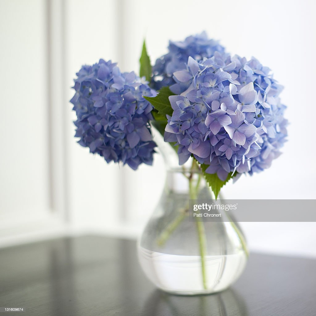 Blue hydrangeas : Stock Photo