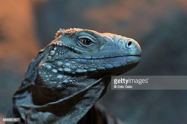 Blue iguana close-up profile head shot