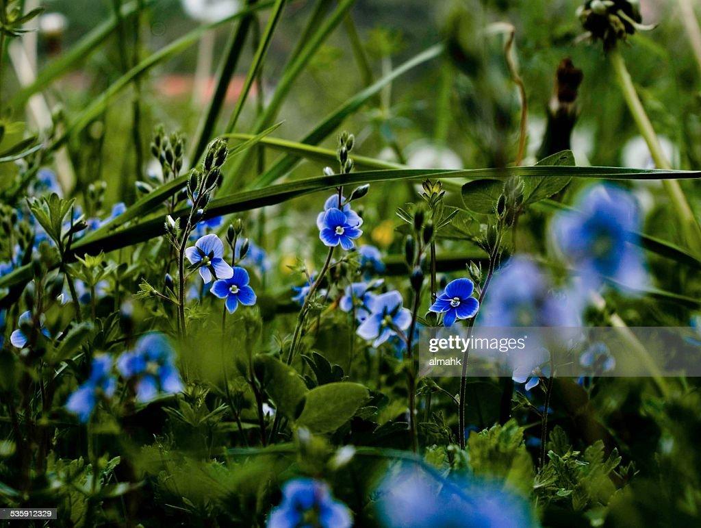 Azul na relva : Foto de stock
