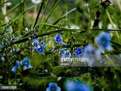 Azul en el césped : Foto de stock