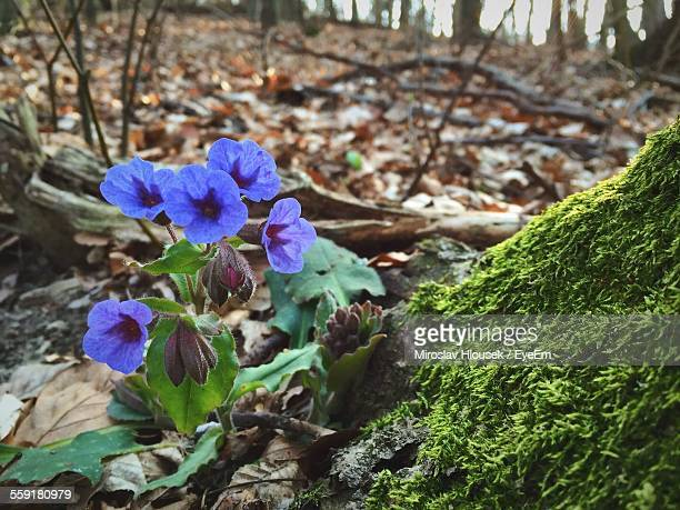 Blue Ipomoea Flowers In Forest