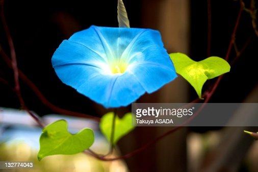Blue Japanese morning glory : Stock Photo