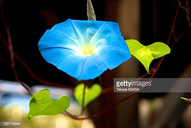 Blue Japanese morning glory