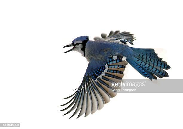 Blue Jay flying with white snow background