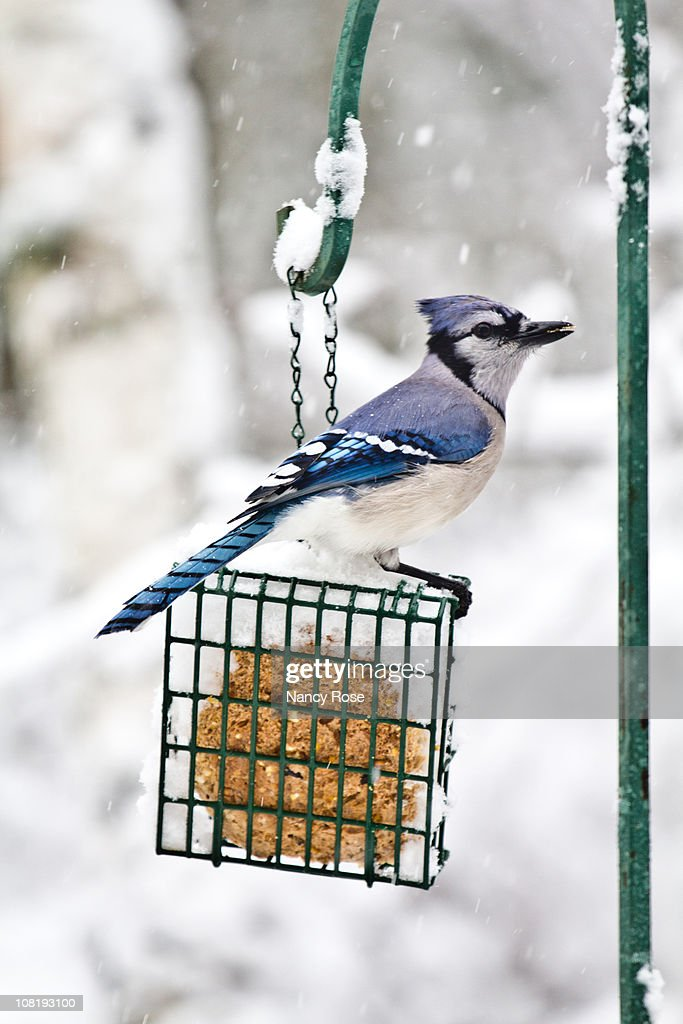 Blue jay on feeder in falling snow