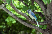 Blue jay sitting on the branch of a tree with blurred green foliage background - close-up