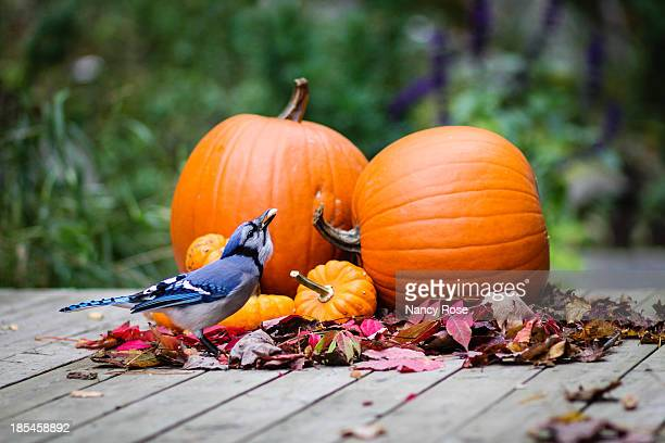 Blue Jay with autumn pumpkins