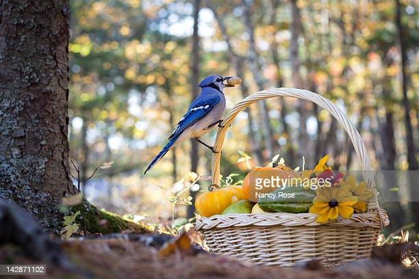 Blue Jay with basket of autumns bounty