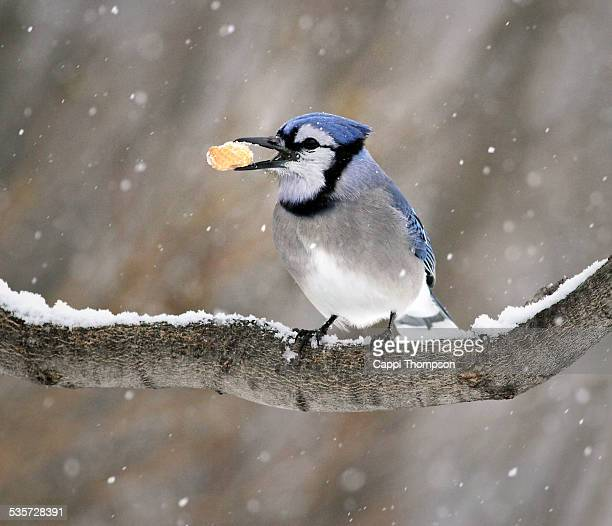 Blue Jay with peanut in tree