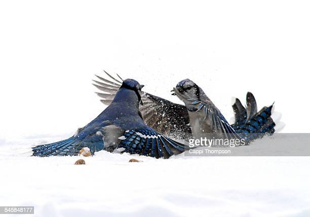 Blue Jays fighting in the snow