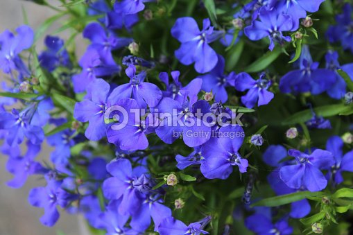 Blue Lobelia Bedding Plant Stock Photo Thinkstock