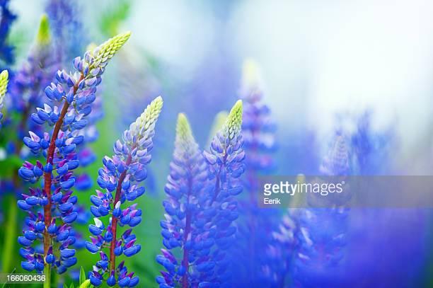 lupines azul