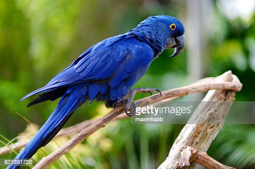 Blue macaw parrot on a branch : Stock Photo