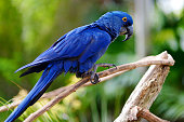 Blue macaw parrot sitting on a branch