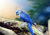 Blue macaw - a medium-sized bird.Inhabits Brazil. This species is no longer found in the wild. The only hope this species remain birds contained in private collections.