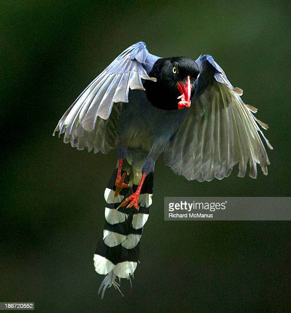 Blue magpie in flight.