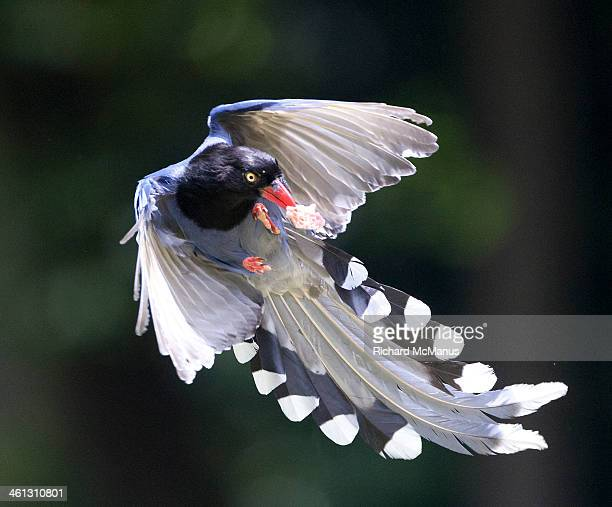 Blue magpie in flight