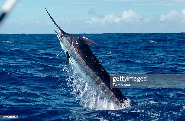 Blue Marlin jumping out of ocean