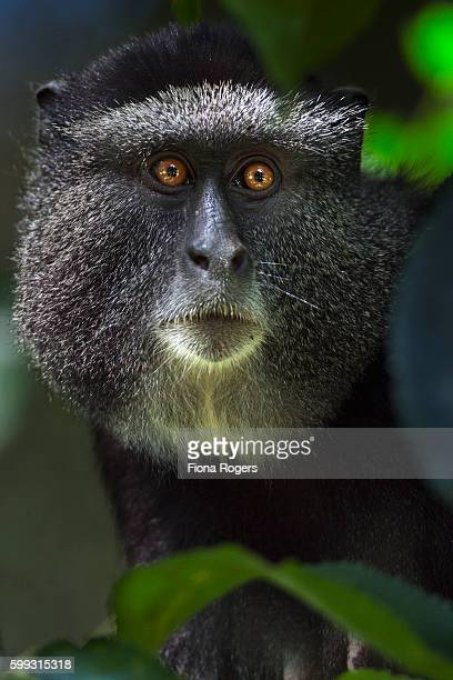 Blue monkey female head portrait