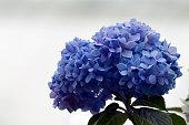 Flower - Blue Mophead Hydrangea Flowers (Macro) against a blur background.