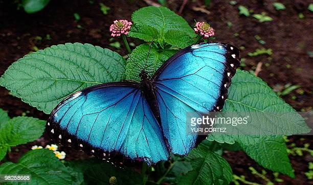 A blue morpho butterfly alights on a plant in one of the gardens of a private hotel near La Fortuna in the Costa Rican rainforest some 110 km...
