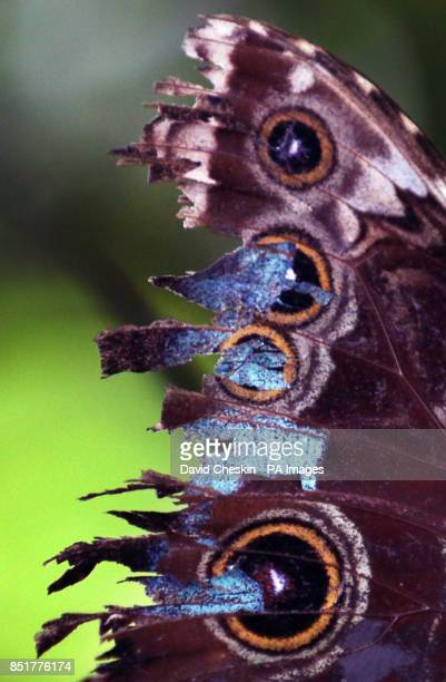 A Blue Morpho Butterfly from South America rests on some chrysalis as the hot weather has produced a population explosion of butterflies at Butterfly...