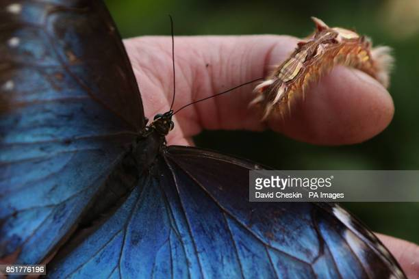 A Blue Morpho Butterfly from South America with a caterpillar as the hot weather has produced a population explosion of butterflies at Butterfly...