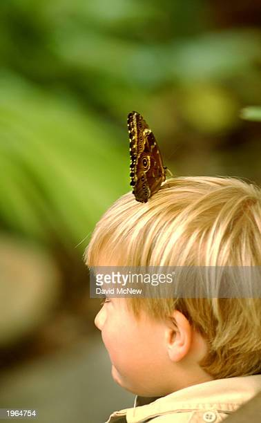A blue morpho butterfly lands on a boys head in the Hidden Jungle exhibit at the Wild Animal Park April 30 2003 near Escondido California The...