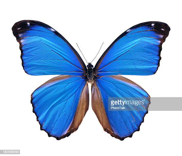 Blue Morpho Butterfly - Large
