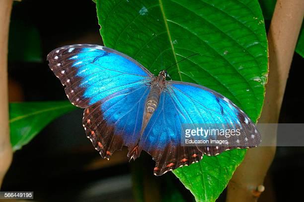 Blue Morpho Butterfly Morpho peleides Stratford Upon Avon Butterfly Park