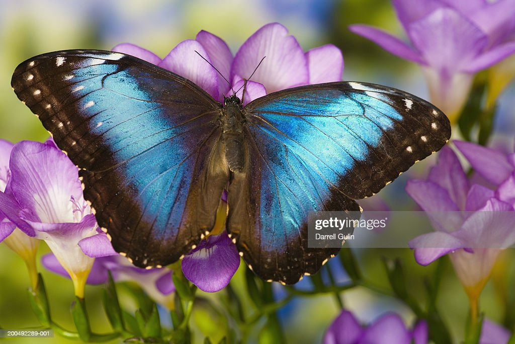 Blue morpho butterfly (Morpho peleides) on freesia, close-up : Stock Photo