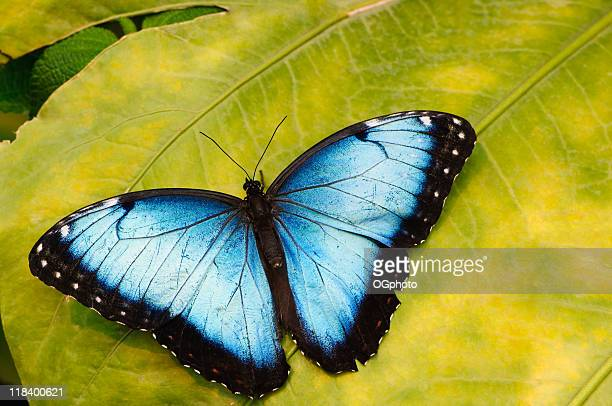 Blue morpho butterfly on tropical leaf