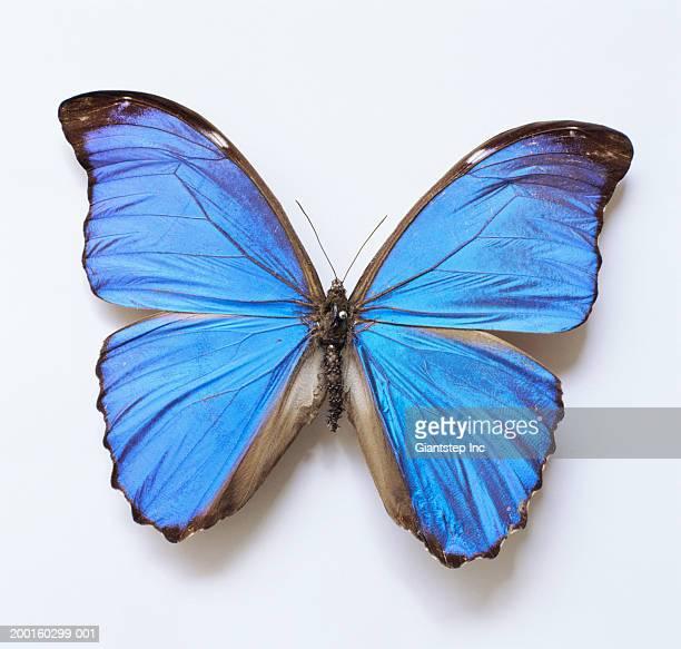 Blue Morpho Butterfly (Morpho menelaus), overhead view