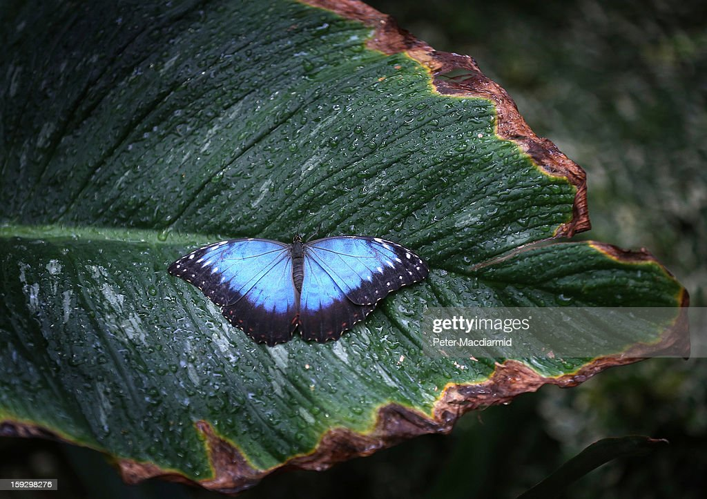 A Blue Morpho butterfly rests on a leaf in The Glasshouse at RHS Wisley Gardens on January 11, 2013 near Woking, England. Rare and exotic butterflies have been placed in The Glasshouse for visitors from January 12 to February 24, 2013.