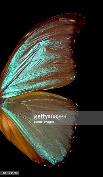 Blue Morpho Flügel