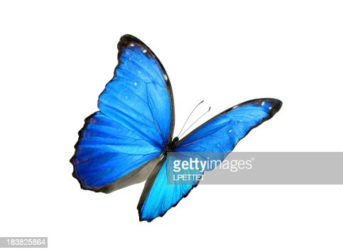 Blue morpho butterfly with black edges