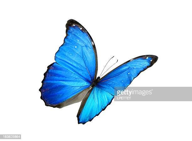 Azul morpho Peleides com bordos preto