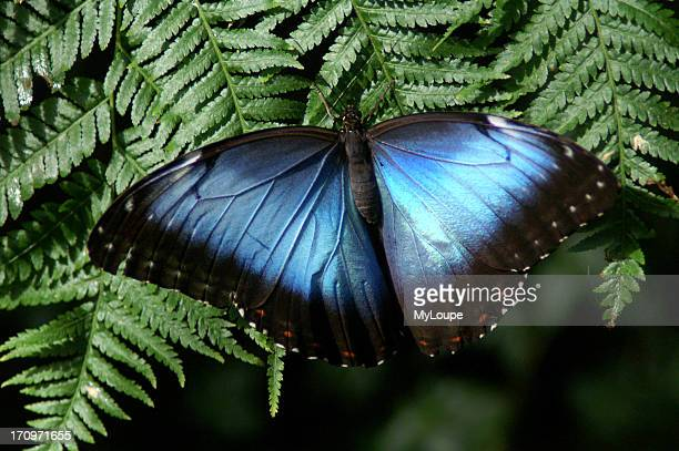 Blue Morpho Papilio Menelaus Linnaeus butterflies are prized by butterfly collectors due to the bright iridescent blue color of the wings on most...