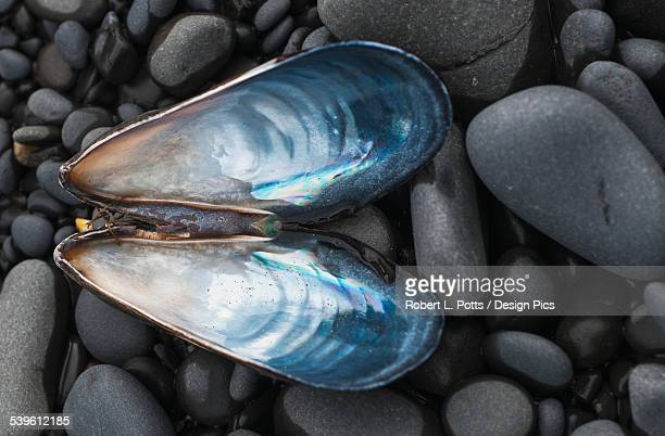 A Blue Mussel (Mytilus Edulis) Shell Rests On The Beach