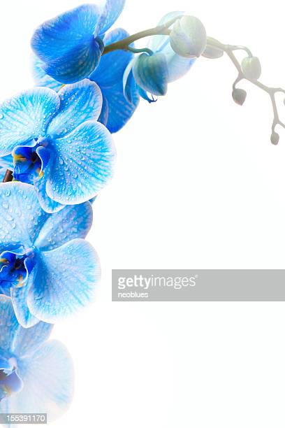 Blue Orchideen