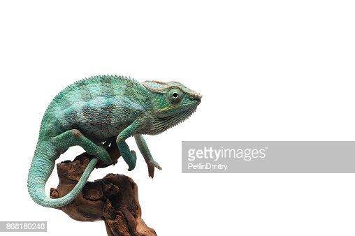 Blue Panther chameleon isolated on white background : Stock Photo